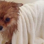 secando-cachorro-com-toalha